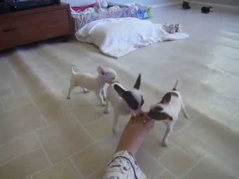Chihuahua Puppies biting my toes.