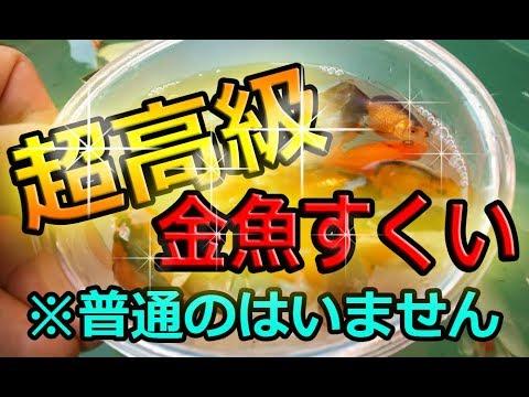 高級 金魚すくい 戸田ふるさと祭  ランチュウ スーパーミユキ ピンポンパール