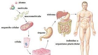 Niveles de organización Nivel de individuos Nivel de aparatos o sistemas Nivel de órganos Tejido visto al microscopio Cristales...