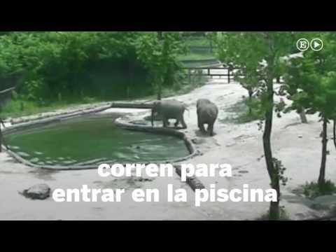 El rescate a un elefante en una piscina de un zoológico  Internacional