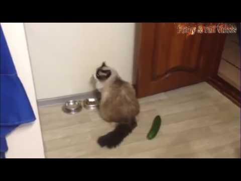 những con mèo sợ (trái dưa leo) top hài bất ngờ nhất thế giới mới 2017 - Thời lượng: 3 phút, 28 giây.