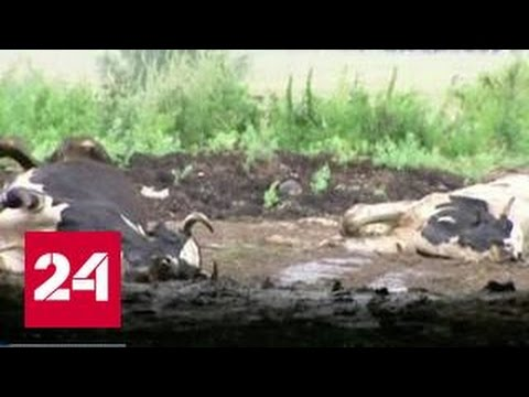 На ферме под Рузой из-за увольнения доярок массово гибнут коровы