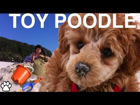 TOY POODLE - fun facts about the Toy Poodle - a tutorial by Cooking For Dogs (видео)