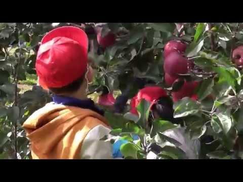 りんごもぎ2015.10/青森大谷幼稚園