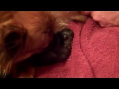 Pomeranian Giving Birth