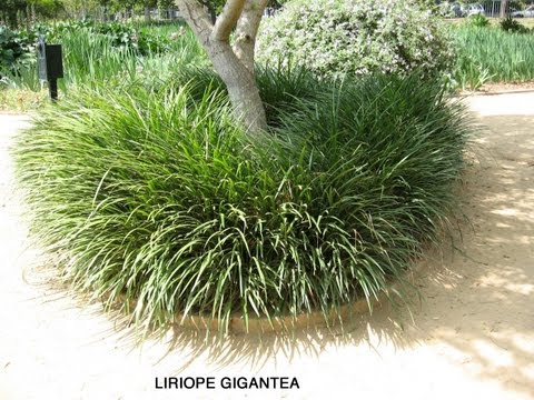 gigantea - Liriope gigantea - Giant Lily-Turf is an evergreen, ornamental grass, hardy to 0 F. It is tolerant of tree roots and shade. It has an attractive purple flowe...