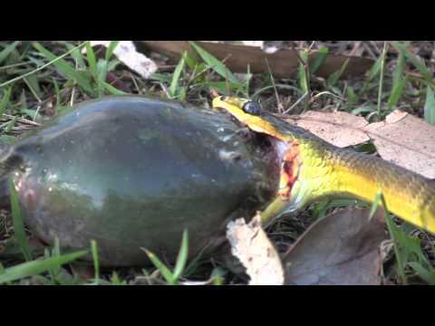 Cách mà ếch tự vệ khi bị rắn tấn công Rắn ăn quả đắng rách cả mồm