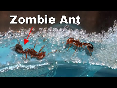 How I Made an Ant Think It Was Dead—The Zombie Ant Experiment (видео)