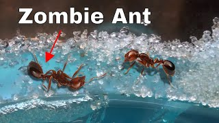 Video How I Made an Ant Think It Was Dead—The Zombie Ant Experiment MP3, 3GP, MP4, WEBM, AVI, FLV September 2019