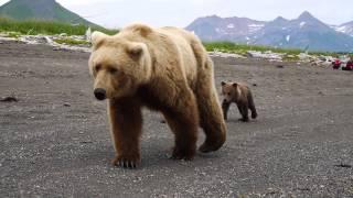 Video Reactions to CLOSE BROWN BEAR encounter MP3, 3GP, MP4, WEBM, AVI, FLV Mei 2017