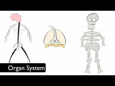 organ and organ systems radioactive. Black Bedroom Furniture Sets. Home Design Ideas