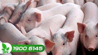 Chăn nuôi | Lợn con mắc viêm ruột tiêu chảy: Phác đồ điều trị