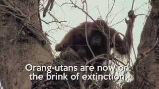 URGENT: Forest fires are raging through Indonesia, putting endangered orangutans and human health at risk. Join the call to stop...