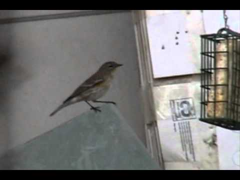 dreamhobbies - This Yellow Rumped Warbler is one of many birds that visit my backyard frequently now that the Sparrow Population has been reduced in the area surrounding my...
