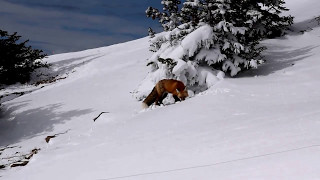 Red Fox at Jackson Hole Mountain Resort