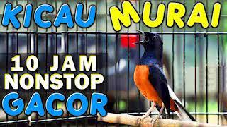 Video 10 JAM NONSTOP - SUARA KICAU BURUNG MURAI GACOR MP3, 3GP, MP4, WEBM, AVI, FLV Mei 2019