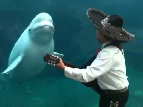 Mariachi Connecticut Serenades A Beluga Whale