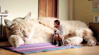 Video THE BIGGEST CATS In The World MP3, 3GP, MP4, WEBM, AVI, FLV Desember 2018