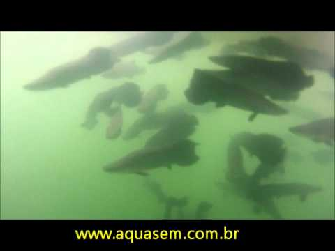 Pirarucu em Tanque-rede (vídeo 2) // Aquasem Aquacultura & Piscicultura Porto Real.