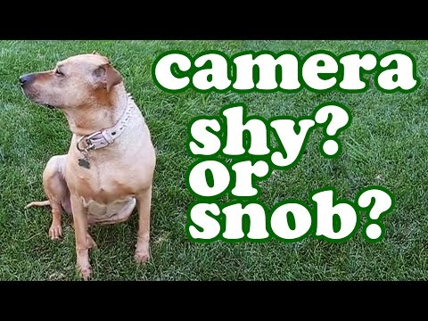 Funny Dog Video – Hilarious Pet Animals Videos Of Dogs – Big Rhodesian Ridgeback Mixed Breed Jazevox