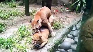 """Download Video Begini ternyata Kucing Raksasa ( Emas )  """"Kawin"""" (Taman Safari Bogor) MP3 3GP MP4"""