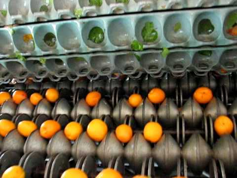 Apricot - Take a little tour of our farm to see how we dry our fruit here at Bella Viva Orchards. When we dry apricots we use a special machine to slice them in half a...