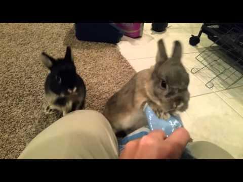 Netherland Dwarf Rabbits Bunnies Feeding Time