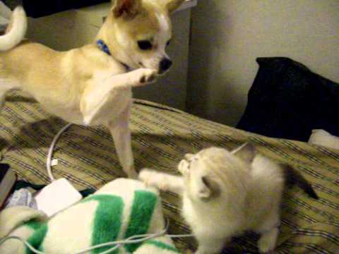 Monkey See Monkey Do- Funny battle between Chihuahua and Kitten!!