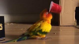 インコがこのコップをくわえた後…何するか予想できる?(動画)