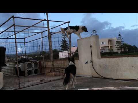 Video - Σκύλος - κομάντο στην Κρήτη παραβιάζει με απίστευτο τρόπο το φράχτη για να παίξει με τη φίλη του!