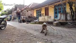 Jangan ngakak Monyet Naik sepeda anak anak