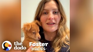 Puppy Has No Idea Her Foster Mom Is Stuck In Quarantine   The Dodo Foster Diaries by The Dodo