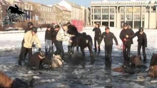 Icelandic Horses Break Through Ice