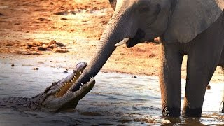Crocodile Attacks Elephant at Watering Hole