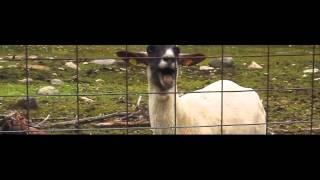 Taylor Swift Screaming Goat