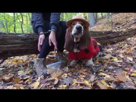 mountie basset hound! (видео)