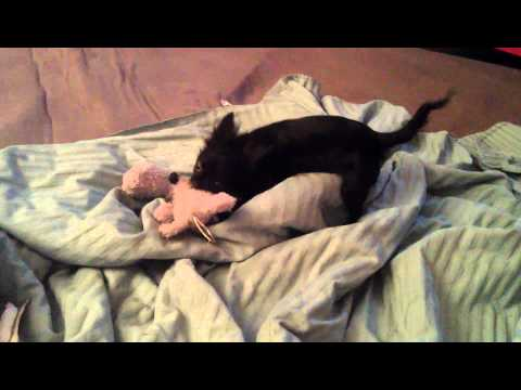 Chihuahua attack toy rabbit