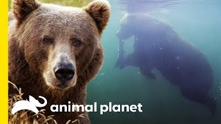 Unique Bear Behavior: Swimming for Salmon   Animal Bites with Dave Salmoni by Animal Planet