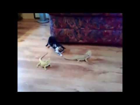il gatto curioso e l'iguana