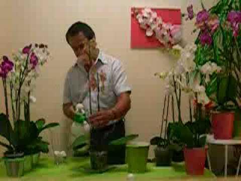 Cuidado de las Orquideas ORQUIDEAS EL EXPERTO