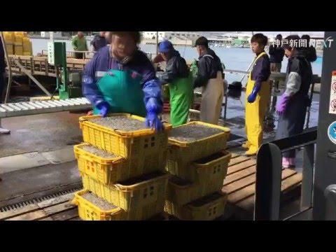 姫路でシンコ漁解禁