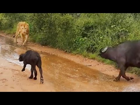 Wildlife - Amazing video of a buffalo calf calling. While the calf was calling, a lion shows up to try and catch easy prey. But out of nowhere the mother buffalo drives...