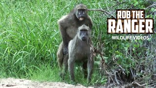 Some interactions within a large troop of baboons.Filmed at Idube Game Reserve in the Sabi Sand Wildtuin, Greater Kruger National Park, South Africa (http://www.idube.com/static)Filmed in 4K UHD resolution using the Sony AX100 video cameraSubscribe for more great wildlife clips: http://goo.gl/VdOHuSFollow #nowfilming on social networks for LIVE photo updatesROB THE RANGER WILDLIFE VIDEOS on Social Networks:TWITTER: http://goo.gl/U8IQGfBLOG: http://goo.gl/yJJ3pTFACEBOOK: http://goo.gl/M8pnJhGOOGLE+: http://gplus.to/robtherangerTUMBLR: http://goo.gl/qF6sNS#YouTubeZA#YouTubeSSA#SAYouTubers