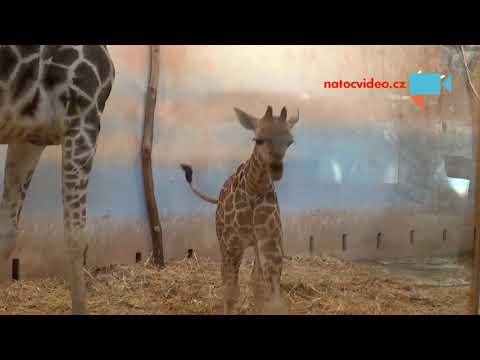 Malá žirafa v ZOO Praha