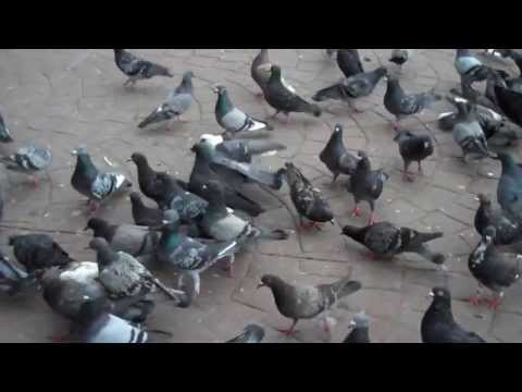 Feeding the pigeons of Costa Rica!