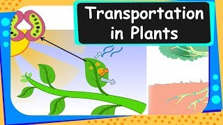 This Biology video explains how transportation of water and materials take place in plants. This video is meant for students studying in class 10 and 11 in CBSE/NCERT and other state boards.About us: We are a social enterprise working on a mission to make school learning interesting, relevant and affordable to every child on this planet. You can watch our FREE online videos at http://www.bodhaguru.com/watch and download our practice application/games - just visit http://www.bodhaguru.com/play If you like our videos, subscribe to our channel http://www.youtube.com/user/BodhaGuruLearning. Feel free to connect with us at http://www.facebook.com/BodhaGuru OR http://twitter.com/Bodhaguru Have fun, while you learn. Thanks for watching -- Team BodhaGuru