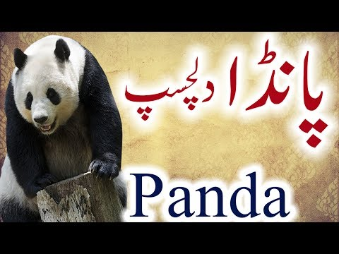 Panda Information In Urdu Hindi Panda History Panda Ki Kahani
