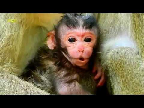 Congrats! Ava Monkey Gave Birth Today / So Cute & Active Just Born Baby Allie