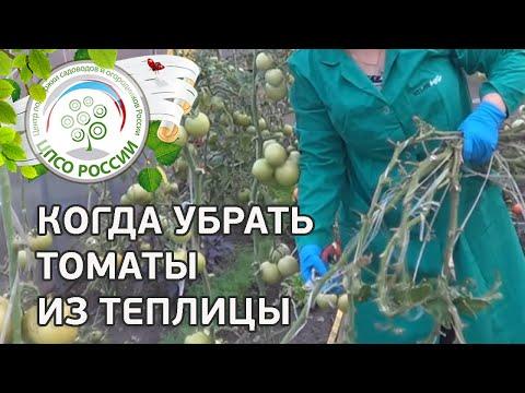 Сплошная уборка томата в теплице. Когда убрать помидоры из теплицы.