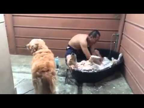 golden retriever loves bath time!